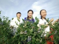 娄底市第三届蓝莓采摘节启动 首日迎来数千名游客