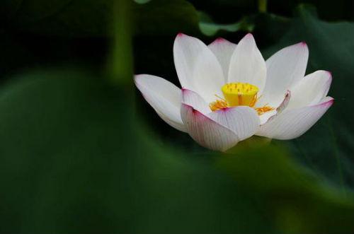 每年夏季,白石乡湘莲种植基地内荷花大面积盛开,数千亩娇艳荷花争奇斗艳,吸引大批游人前来观赏。
