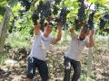 娄底老农种的葡萄赛新疆葡萄遭质疑 检测所为其正名