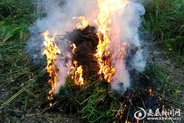 (安平镇农技中心将有害外来生物物种铲除销毁现场   10月11日照片)