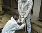 洪山殿镇全力开展冬季动物防疫监测采血工作