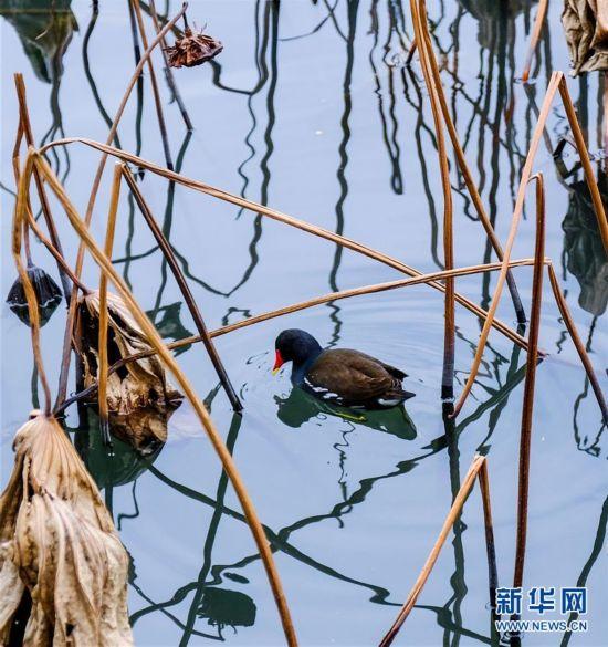 (12月13日,越冬的鸟类在西湖中觅食8)