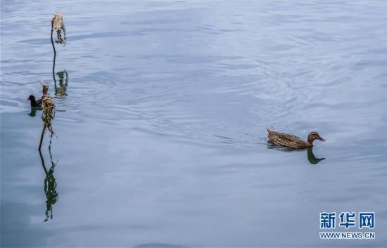(12月13日,野鸭在西湖中觅食6)