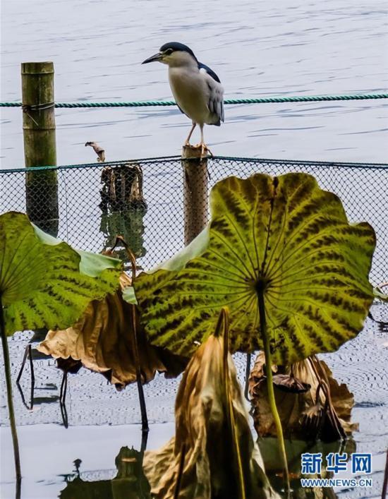 (12月13日,一只越冬的候鸟在西湖中休憩5)