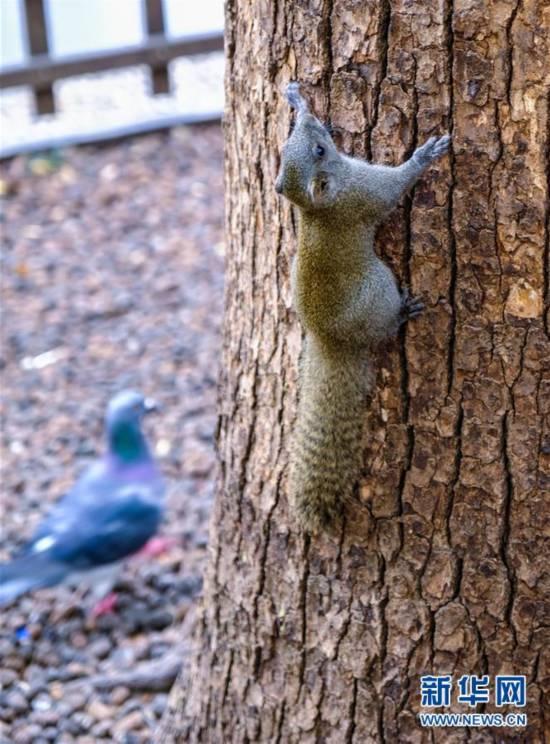(12月13日,一只松鼠在西湖边的大树上觅食7)
