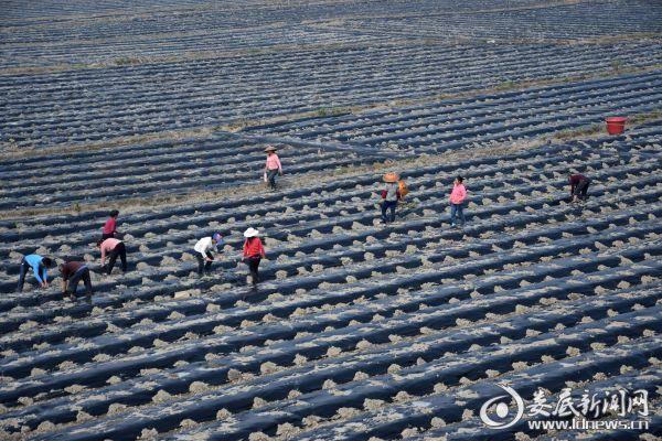 仙草种植。产业扶贫惠农户