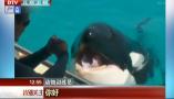 厉害了 虎鲸竟会说人话