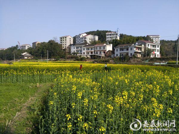漫山遍野的油菜花海吸引众多城乡居民前来赏花拍照