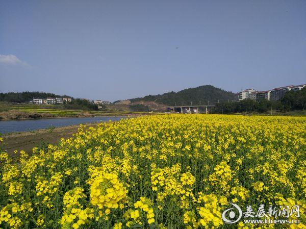 磨子石村油菜基地紧邻孙水河,旁边是正在建设的沿河风光带