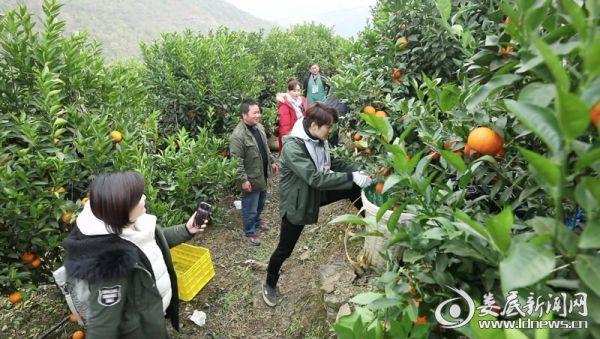 公益大使学习沃柑种植技术