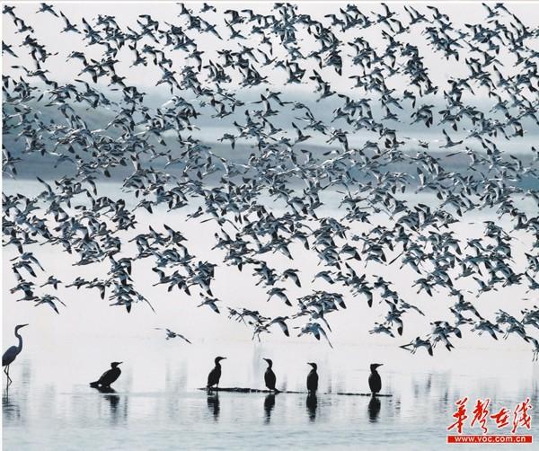 洞庭湖的湿地候鸟。