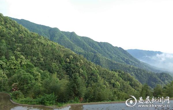 百茶源村马蹄印的李花风景