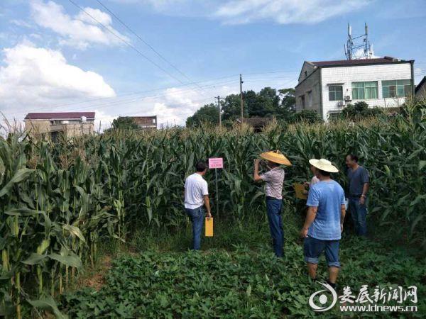 照片 现场评议玉米新品种