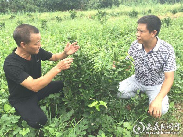 (王修明(左)传授美国糖桔的种植和管理技术)