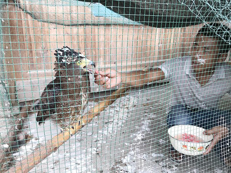 """新化县林业局放生国家二级保护动物""""蛇雕"""""""