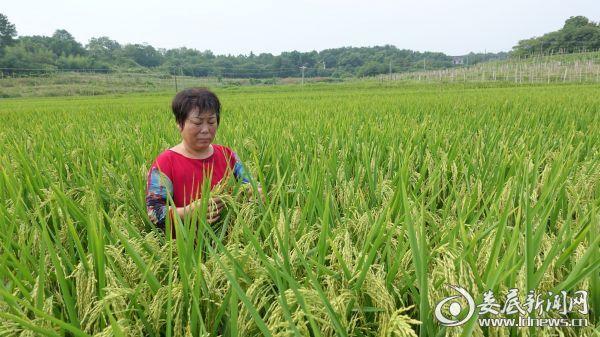 4、水稻丰收