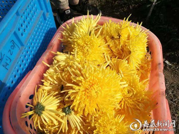 (采好的黄色茶菊)