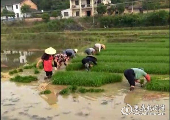 农户正在拔秧移苗