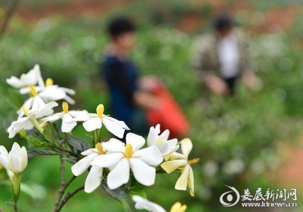 200  村民在采摘黄栀子花 (1)