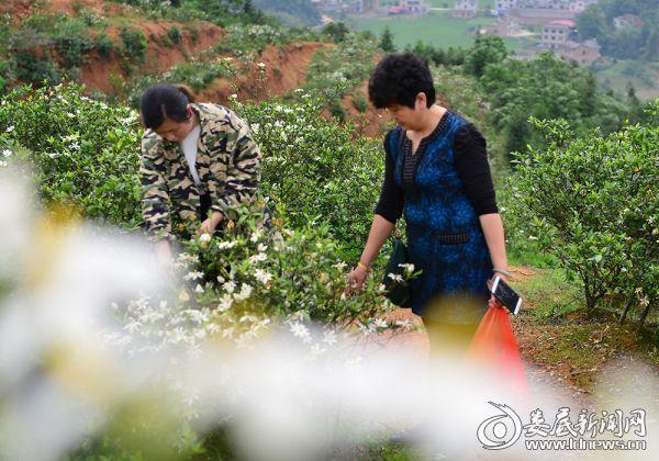 200  村民在采摘黄栀子花 (2)