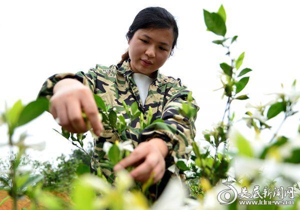 200  村民在采摘黄栀子花