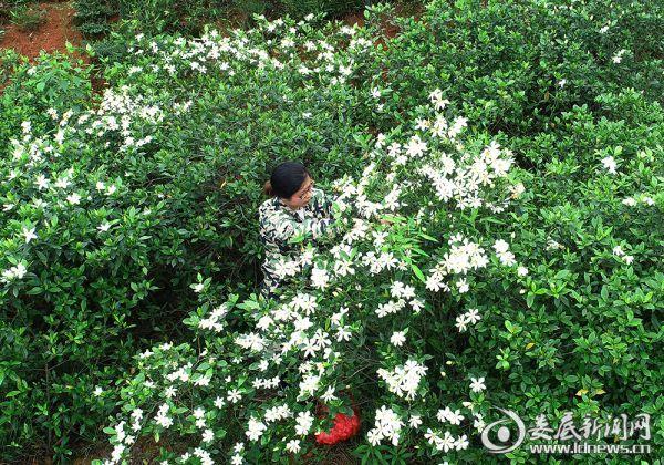 206    村民在采摘黄栀子花