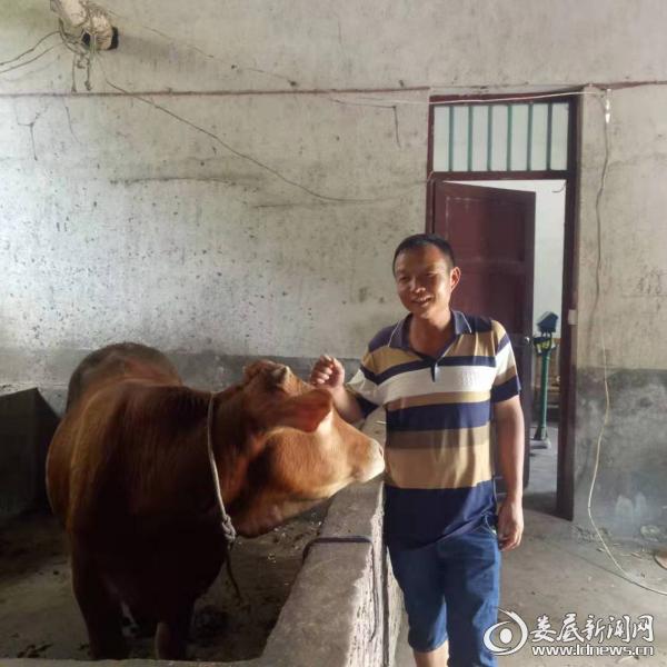 (冯勇斌家养的本地黄牛)