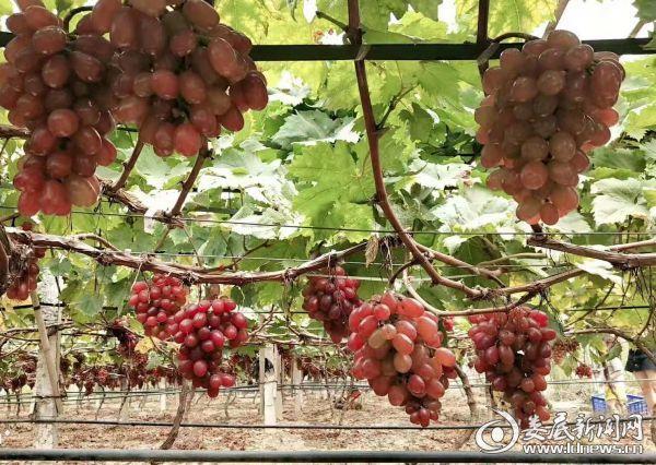 (湴里村葡萄种植产业基地)