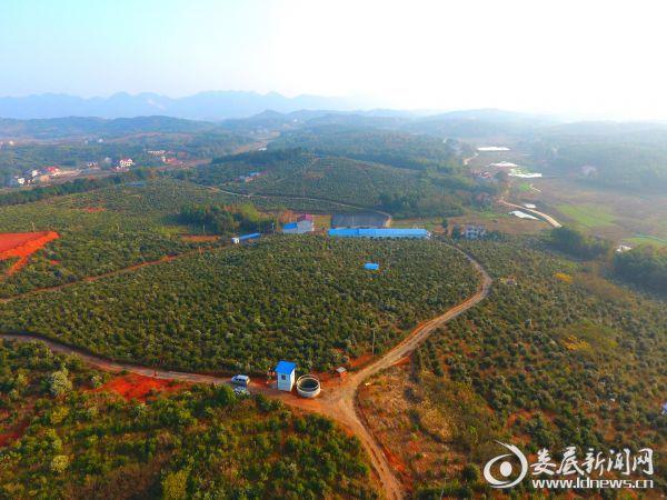 印塘乡金和优质油茶林基地