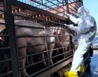 """娄底:织密非洲猪瘟""""防控网"""" 稳生产保供应"""