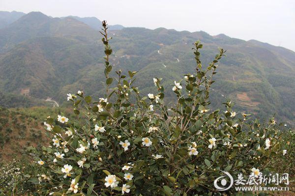 <p>(湘桥油茶林基地)</p>