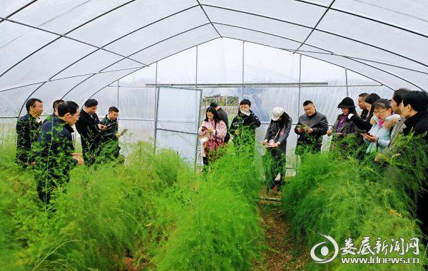 参观黄马洲村芦笋产业园