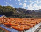 双江乡:红薯丰收 甜蜜飘香