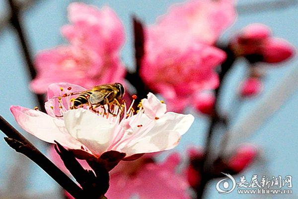 冷水江钢铁有限责任公司桃花园里蜜蜂采蜜忙。熊又华 摄DSC_8989