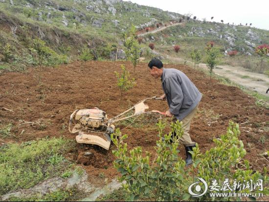 脱贫户杨亲情正用耕土机在为油茶树松土
