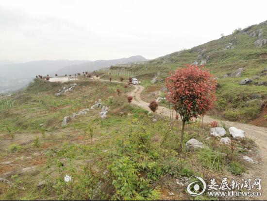 3山路两旁的红叶石栏景观树长出了很多红叶