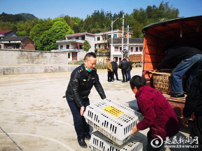 娄星区运管局驻村帮扶工作队运送鸡苗助力脱贫暖民心