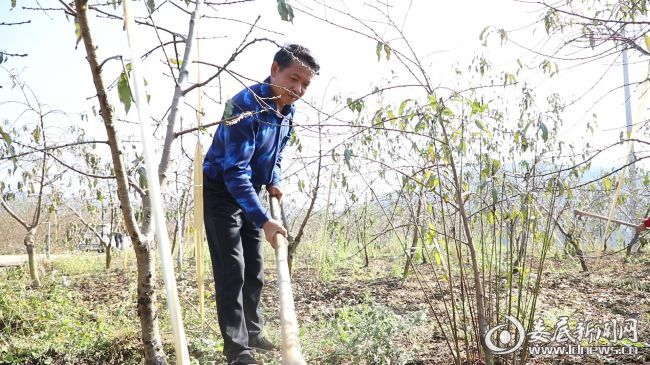 双峰县杏子铺镇梓园村村民万光荣正在他的黄桃基地劳作