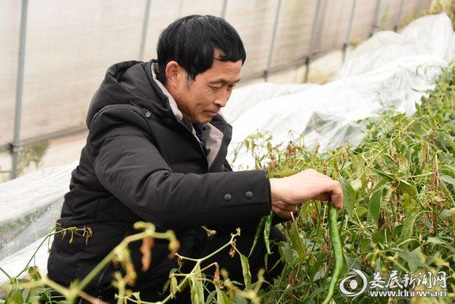 兴星村党组织书记赵后培在大棚内检查受冻情况