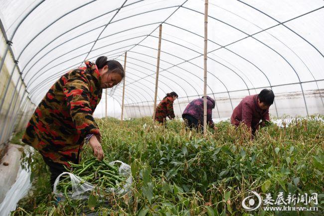 农户在大棚内紧急采摘辣椒
