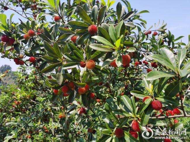 (一株株绿油油的杨梅树上挂满了朱红点点的果实,正贪婪地吮吸着阳光雨露)