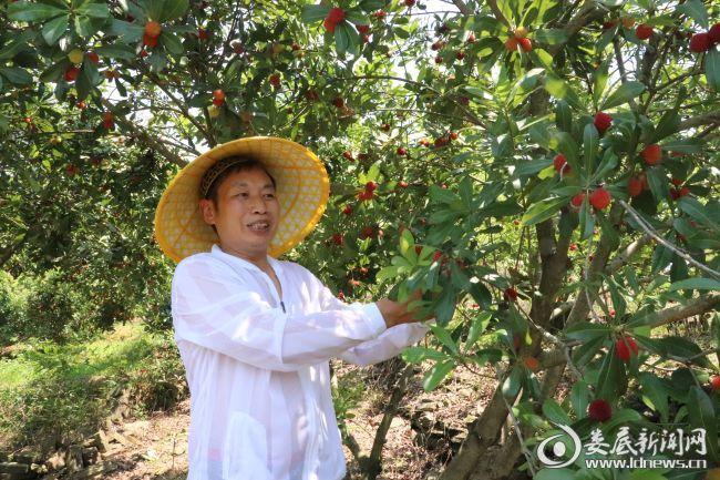 ((曾喜红是桑梓镇西江湾村较早种植杨梅的农户之一,目前种植杨梅400多亩,主打东魁和乌梅两个品种)